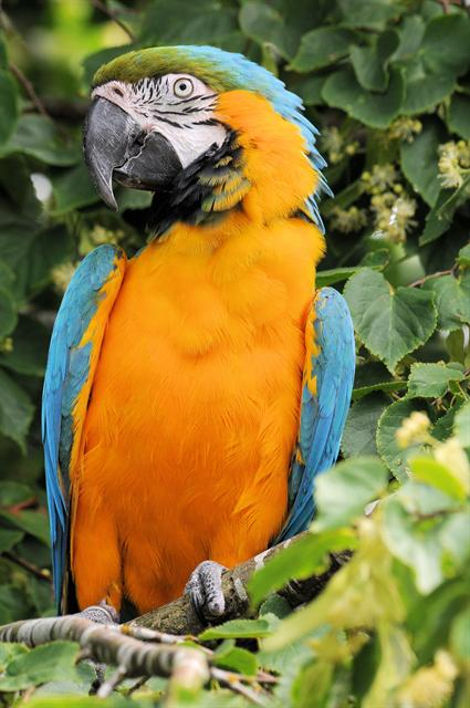 Blue-and-yellow Macaw (Ara ararauna) photo