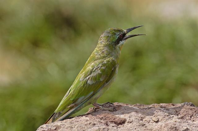 Blue-cheeked Bee-eater (Merops persicus) photo