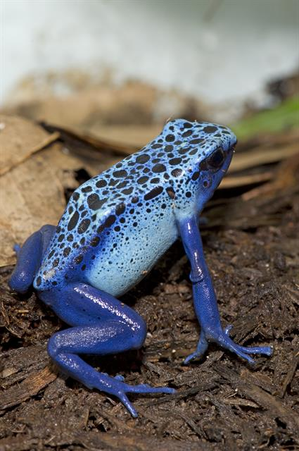 Blue Poison Dart Frog (Dendrobates azureus) photo