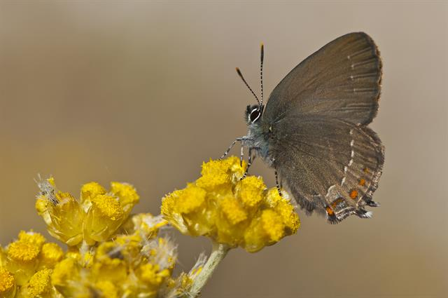 Blue-spot Hairstreak (Satyrium spini) photo