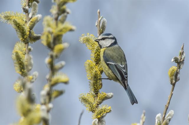 Blue Tit (Parus caeruleus) photo