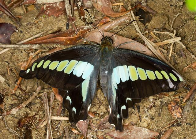 Blue Triangle Butterfly (Graphium sarpedon) photo