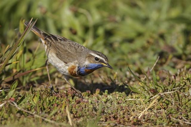 Bluethroat (Luscinia svecica ssp. svecica) photo