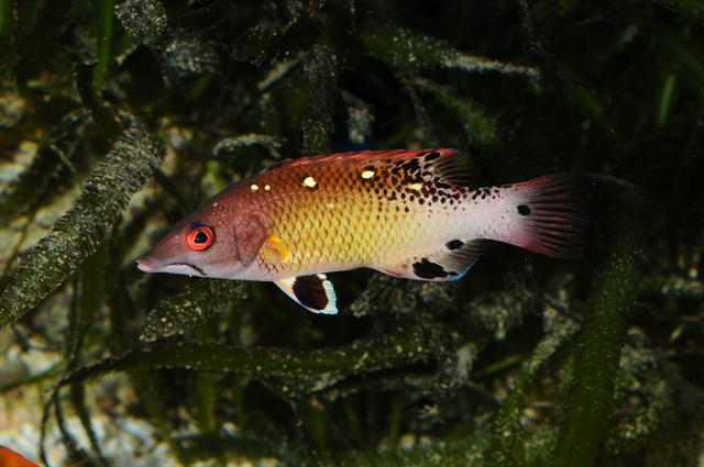 Bodianus diana photo