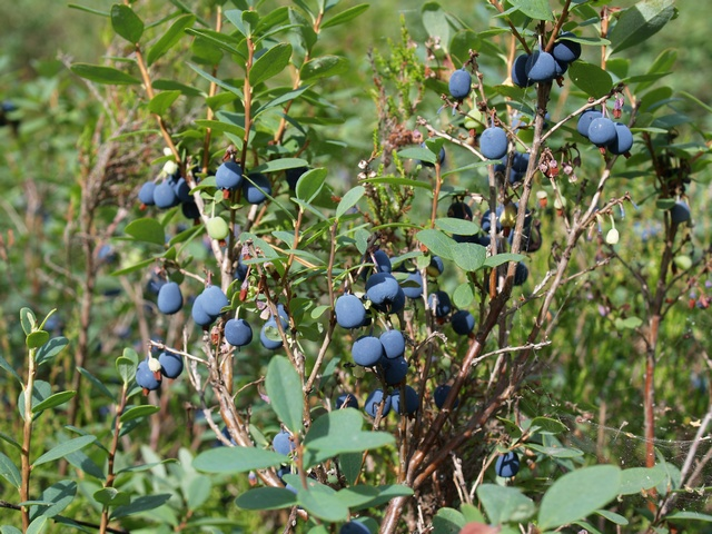 Bog Bilberry - Northern Bilberry (Vaccinium uliginosum) photo