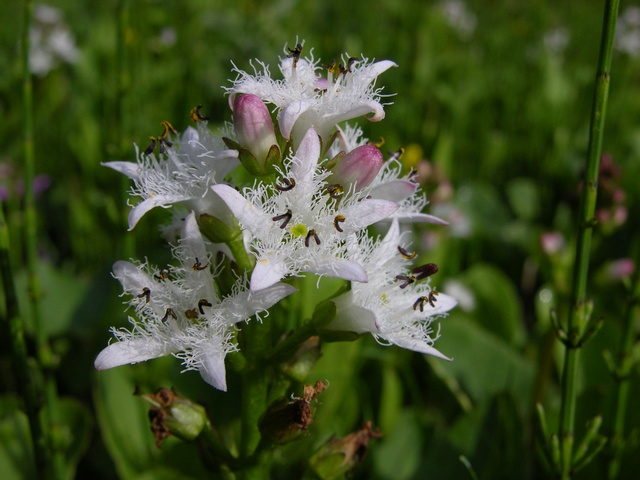 Bogbean (Menyanthes trifoliata) photo