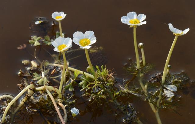 Brackish Water Crowfoot (Ranunculus peltatus ssp. baudotii) photo