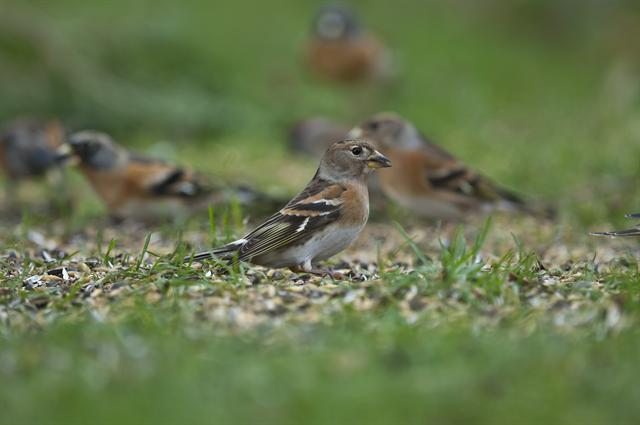 Brambling (Fringilla montifringilla) photo