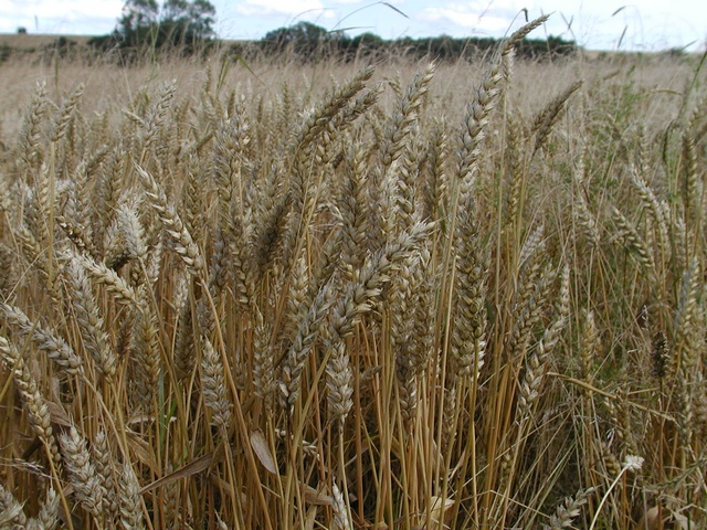 Bread Wheat (Triticum aestivum) photo