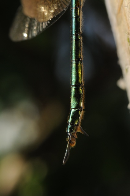 Brilliant Emerald (Somatochlora metallica) photo