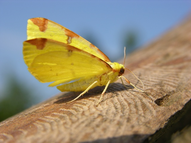 Brimstone (Opisthograptis luteolata) photo