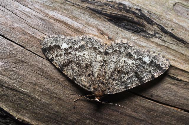 Brindled White-spot (Parectropis similaria) photo
