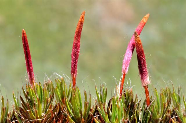 Bristly Haircap (Polytrichum piliferum) photo