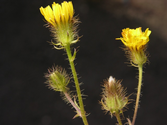 Bristly Hawk´s-beard (Crepis setosa) photo