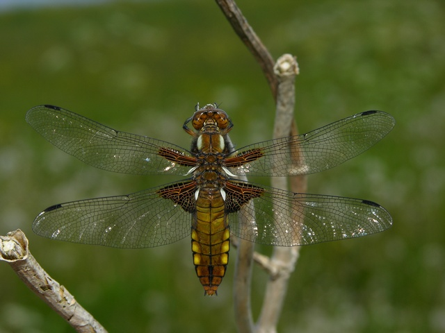 Broad-Bodied Chaser (Libellula depressa) photo