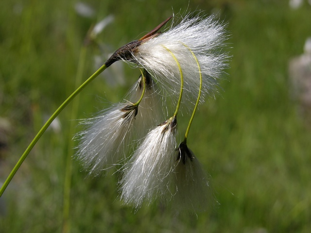 Broad-Leaved Cottongrass (Eriophorum latifolium) photo