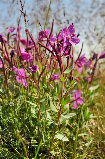 Broad-leaved Fireweed, River Beauty (Epilobium latifolium) photo