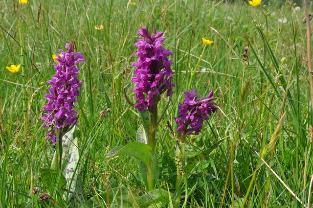 Broad-leaved Marsh Orchid (Dactylorhiza majalis ssp. majalis) photo