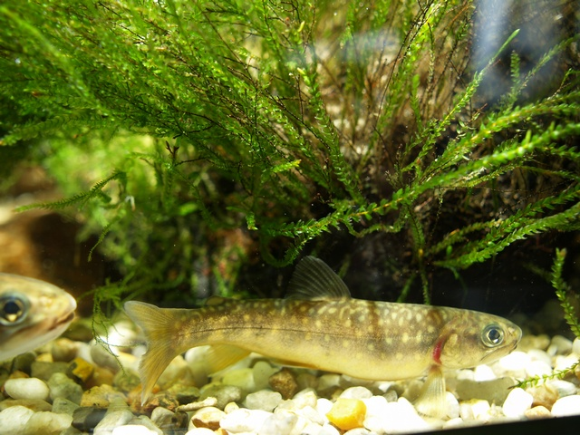 Brook trout (Salvelinus fontinalis) photo