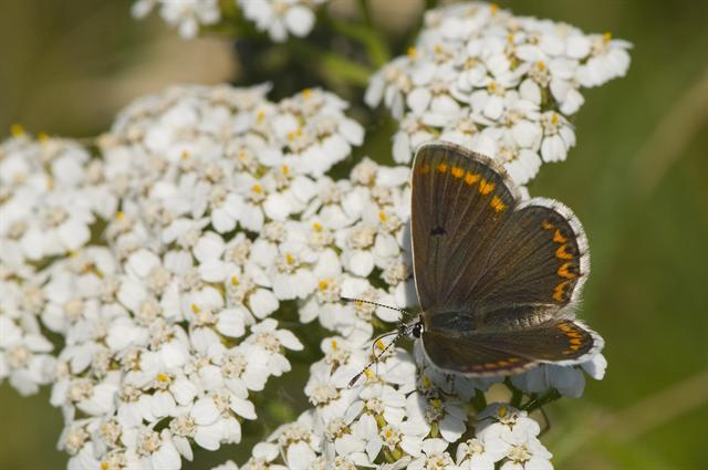 Brown Argus (Aricia agestis) photo