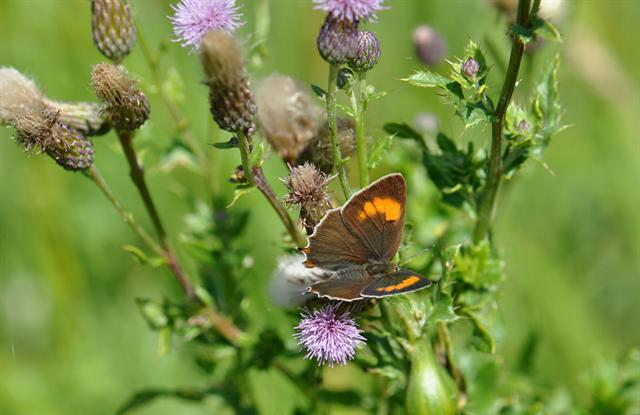 Brown Hairstreak (Thecla betulae) photo