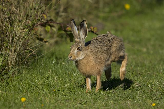 Brown Hare (Lepus europaeus) photo