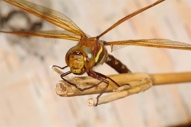 Brown Hawker (Aeshna grandis) photo