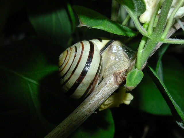 Brown Lipped Snail (Cepaea nemoralis) photo