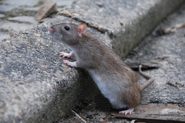 Brown Rat (Rattus norvegicus) photo