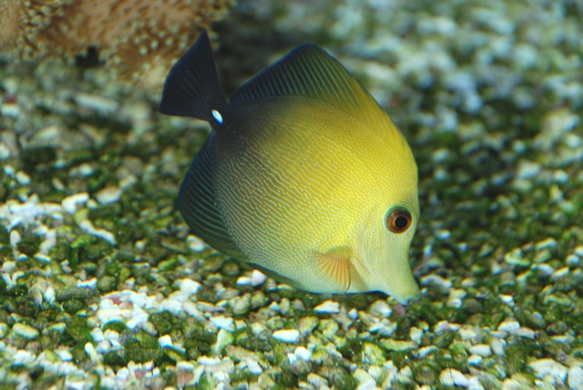 Brown tang (Zebrasoma scopas) photo