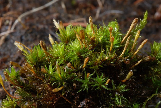 Bruch´s Pincushion (Ulota bruchii) photo