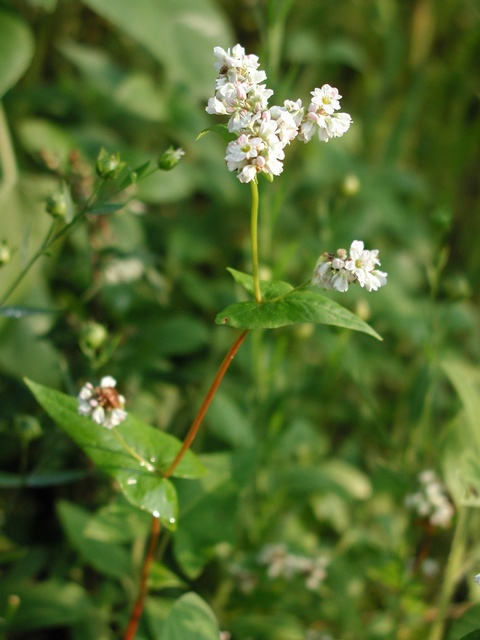 Buckwheat (Fagopyrum esculentum) photo