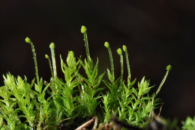 Bud-headed Groove-moss (Aulacomnium androgynum) photo