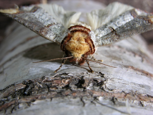 Buff-tip (Phalera bucephala) photo