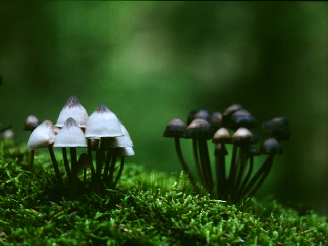 Burgundydrop Bonnet (Mycena haematopus) photo