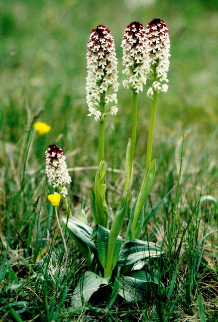 Burnt-tip Orchid (Neotinea ustulata) photo