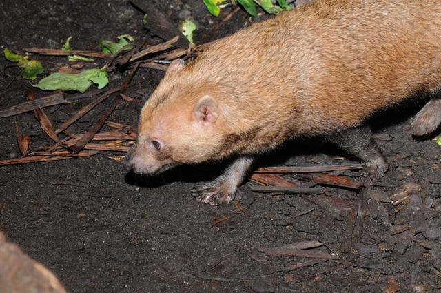 Bush Dog (Speothos venaticus) photo