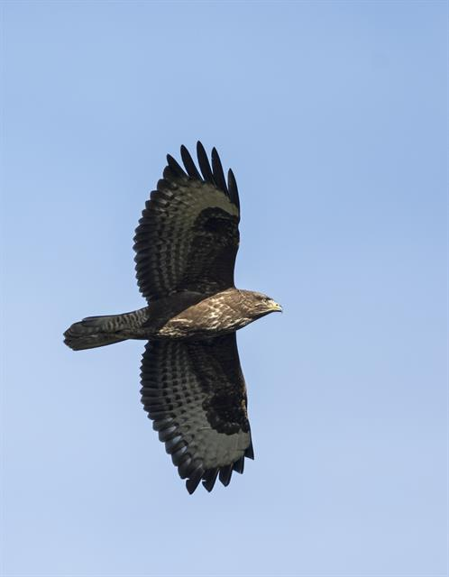 Buzzard (Buteo buteo) photo