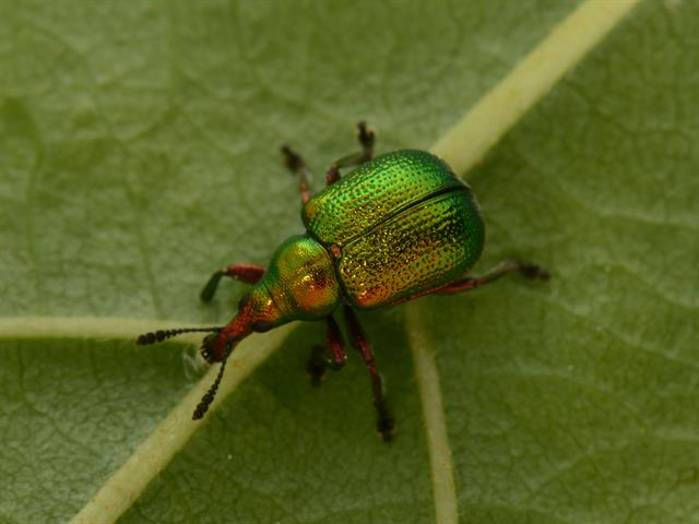 Byctiscus betulae photo