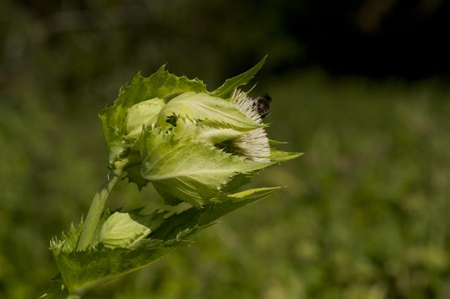 Cabbage Thistle (Cirsium oleraceum) photo