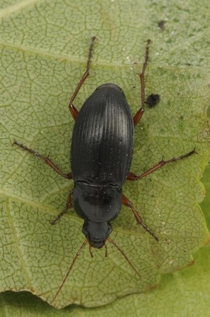 Calathus fuscipes photo