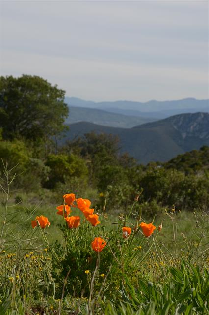Californian Poppy (Eschscholzia californica) photo