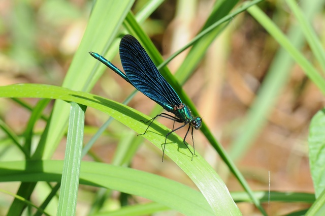 Beautiful Demoiselle (Calopteryx virgo)