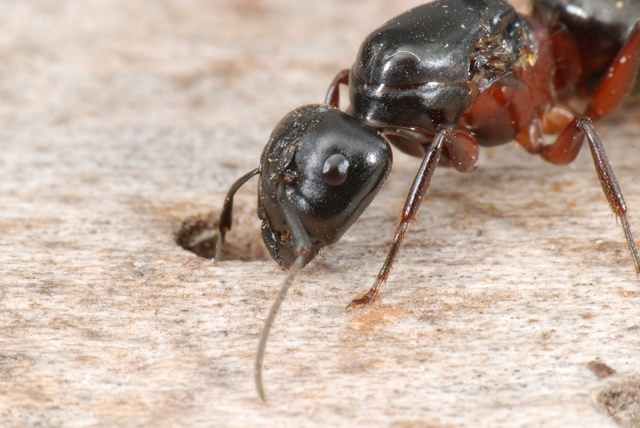 Camponotus herculeanus photo