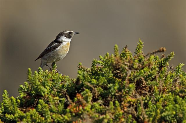 Canary Islands Chat (Saxicola dacotiae) photo