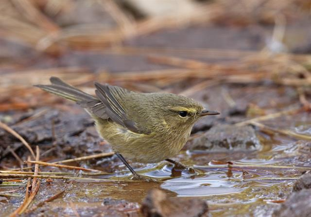 Canary Islands Chiffchaff (Phylloscopus canariensis) photo