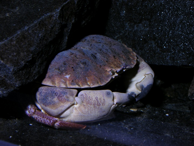 Edible Crab (Cancer pagurus)