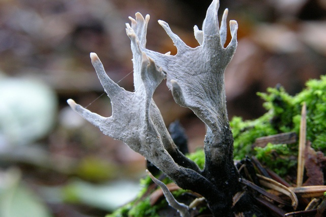 Candle Snuff (Xylaria hypoxylon) photo