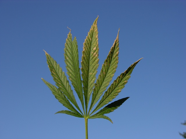 Cannabis, Hemp (Cannabis sativa)