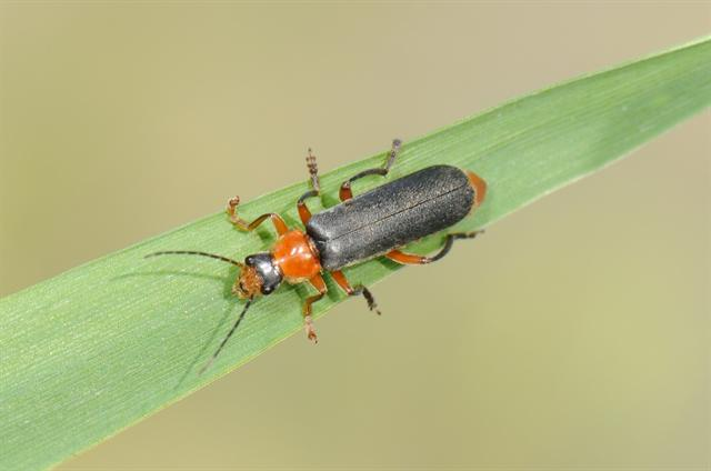 Cantharis pellucida photo